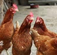 Comment Elever Des Poules : vider un poulet ~ Melissatoandfro.com Idées de Décoration
