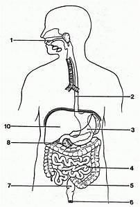 Simple Digestive System Diagram   Simple Digestive System
