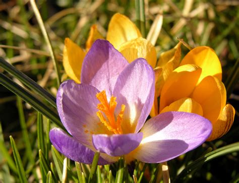 how to plant crocus bulbs ehow uk
