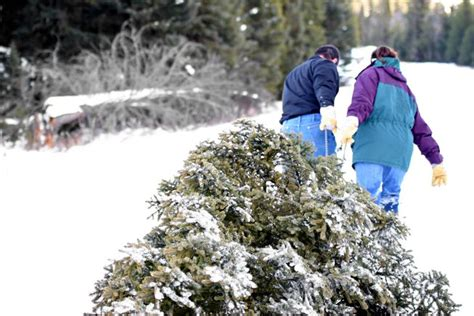 cut down your own christmas tree edmonton did i do the right thing by cutting a tree mnn nature network