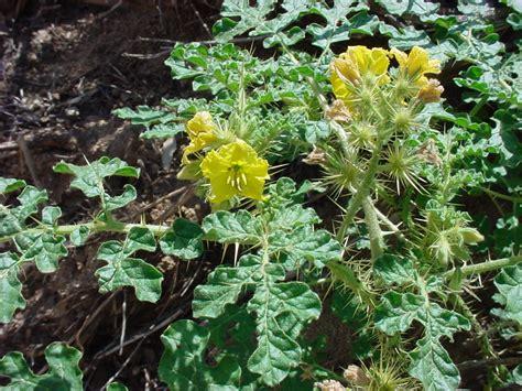 Vascular Plants of the Gila Wilderness-- Solanum rostratum