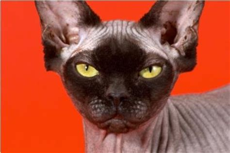 non shedding cats non shedding cat breeds