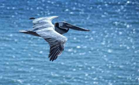 pelican wallpapers images  pictures backgrounds