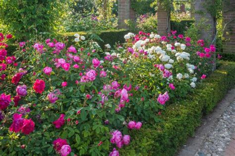 rose garden design  pinterest colorful roses rose