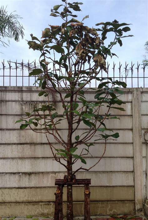 ช่วยด้วยค่ะ ต้นมะเหมี่ยวกิ่งใบแห้งเหี่ยว เหมือนกำลังจะตาย ...