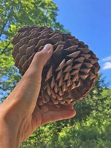 Large, Jeffrey, Pine, Tree, Cones, Are, Perfect, For, Rustic, Decor, In, The, Home, U2013, Houseofcones, Com