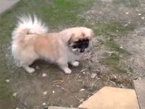 dog pekingesepug pugingese pepito youtube
