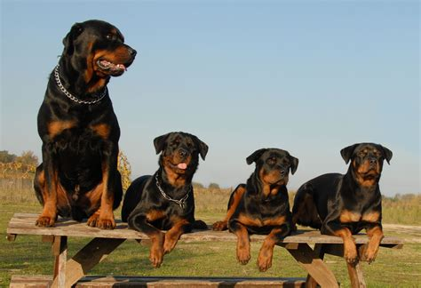 characteristics of rottweilers