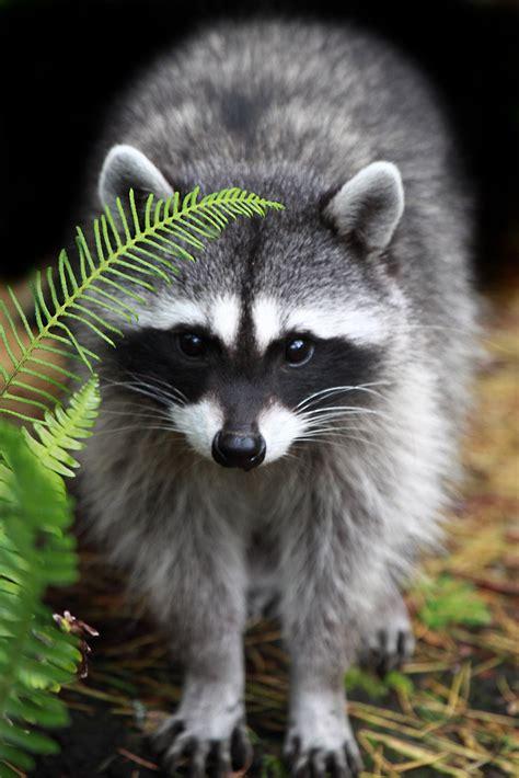 cute raccoon arman werth flickr