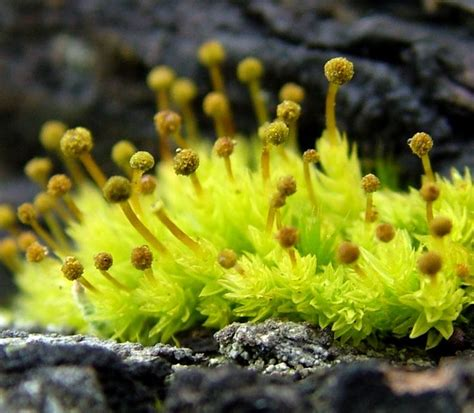 buy moss spores 258 best images about fern on pinterest ferns for sale japanese painted fern and plants