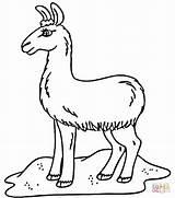 Coloring Llama Pages Printable Field Alpaca Sheet Cute Llamas Template Baby Printables Google Print Alpacas Supercoloring Pj Kawaii Popular Saints sketch template