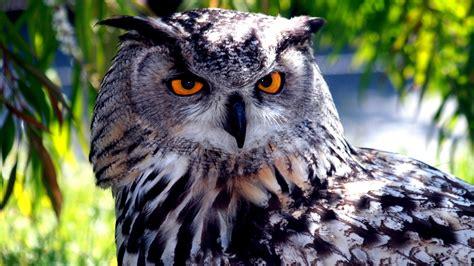 animal great horned owl  wallpaperscom