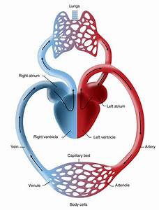 Lungs Clipart Heart Blood Vessel  Lungs Heart Blood Vessel