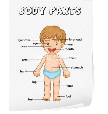 body parts diagram poster vector image  projects