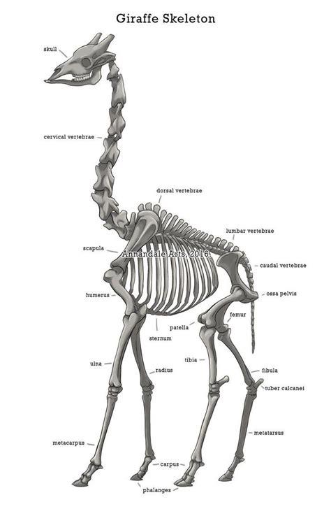 anatomy study   giraffe based  google image search