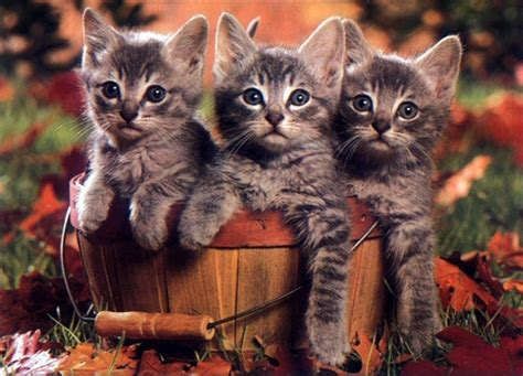 Free Fall Animal Wallpaper - autumn cats cats animals background wallpapers on