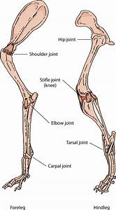 Other Joint Disorders In Dogs - Dog Owners