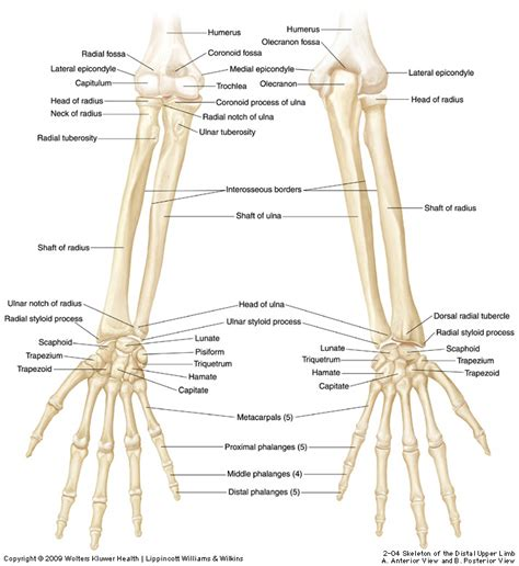 Ulna Diagram Neck by Duke Anatomy Lab 2 Pre Lab Exercise