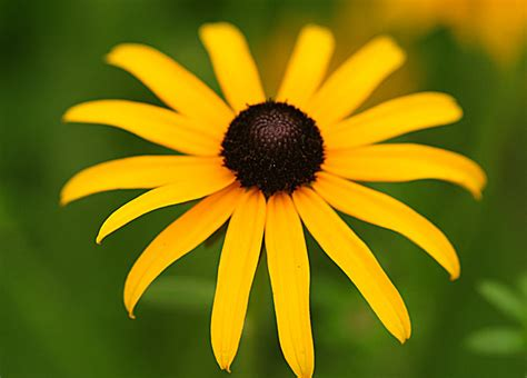 Pictures Of Flowers Black Eyed Susan