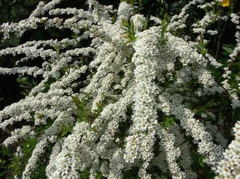 Spiraea x arguta Asā spireja - Spirejas - dekoratīvo stādu ...