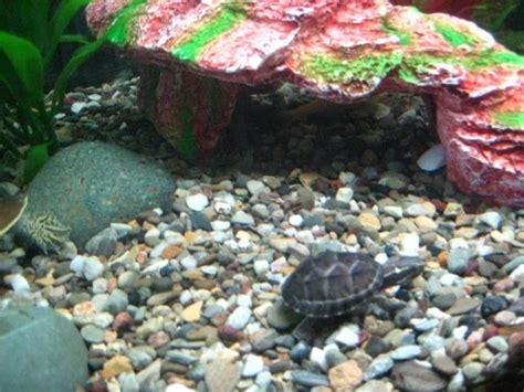 turtle identification my aquarium club