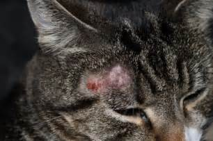 cat ringworm ringworm in cats pictures animals