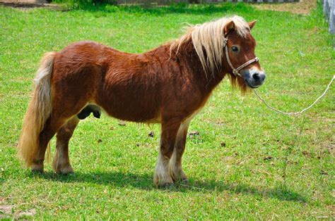 pony breeds native british shetland pets4homes