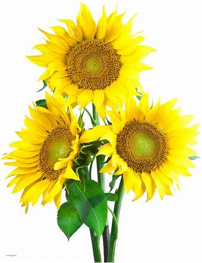 Sunflower Transparent Background Sunflowers Clipart Flowers Pngs