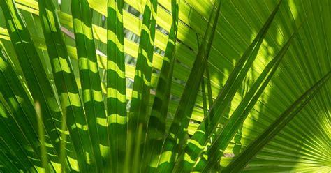 care  palm trees