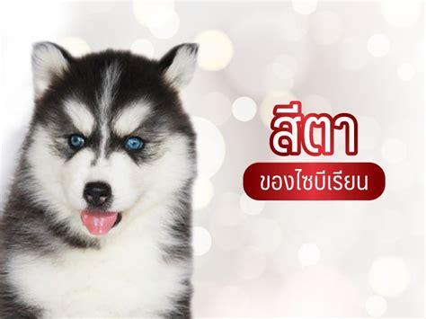สีตาของ ไซบีเรียน - All Best Kennel
