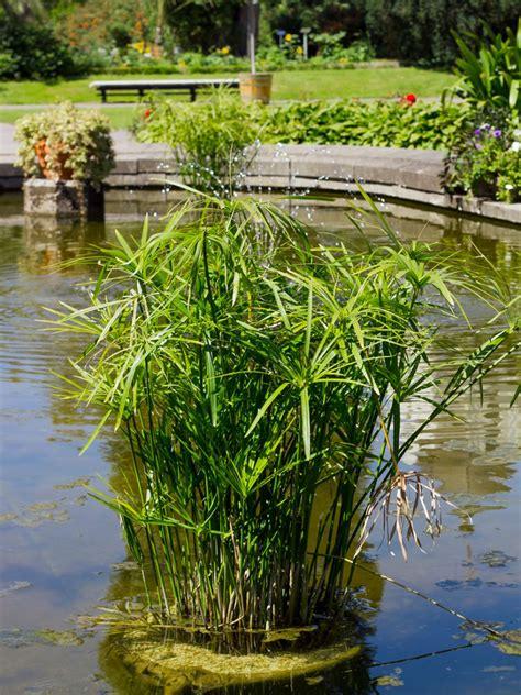 aquatic umbrella plants    grow  umbrella
