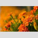 Marigold Flower Wallpaper | 1920 x 1280 jpeg 187kB
