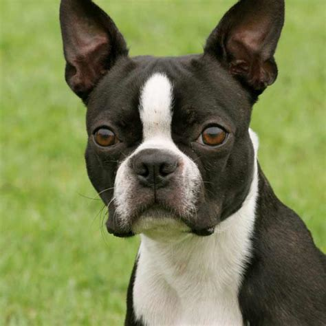 boston terrier dog breed information pictures