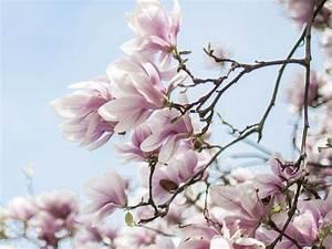 Magnolie Blüht Nicht : magnolien im garten 9 pflegetipps f r ihre pflanzen ~ Buech-reservation.com Haus und Dekorationen