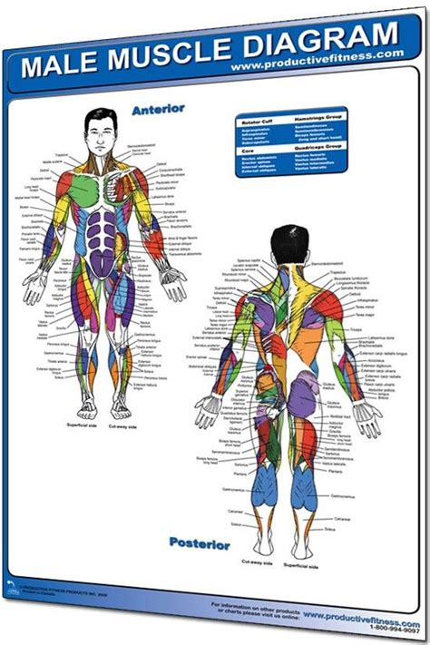 There are anterior muscles diagrams and posterior muscles diagrams. This male muscle diagram poster pinpoints every muscle group by its proper name. No more ...
