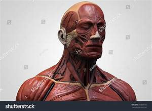 Head Torso Anatomy Human Head Shoulder Stock Illustration