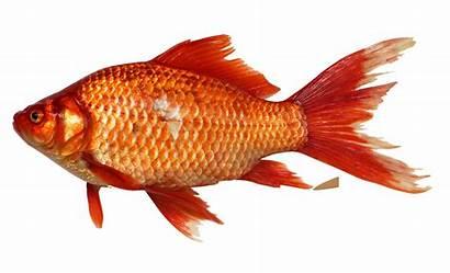 Fish Goldfish Transparent Icon Resolution Marine Sea