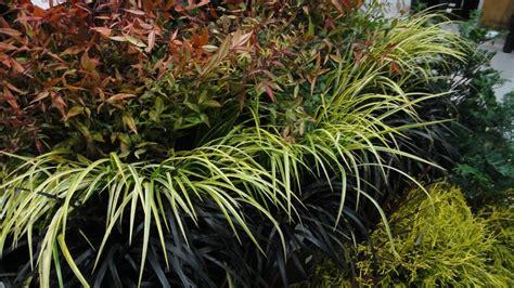 Red Nandina, Yellow Carex And Black Mondo Grass