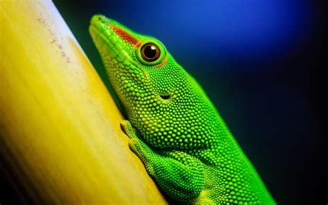 Lizard Wallpaper Hd Wallpapersafari