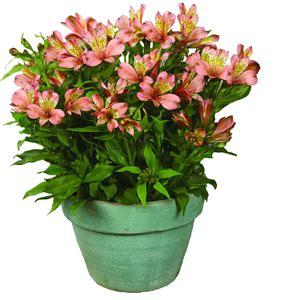 lilas en pot entretien alstroemeria ou lis des incas vari 233 t 233 s culture bio taille et entretien