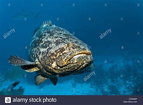 grouper goliath fish jewfish itajara atlantic epinephelus alamy swimming shopping cart