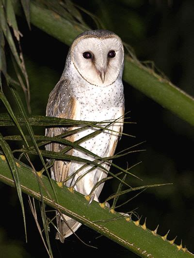 Barn Owl Malaysia by Owls Of Se Asia