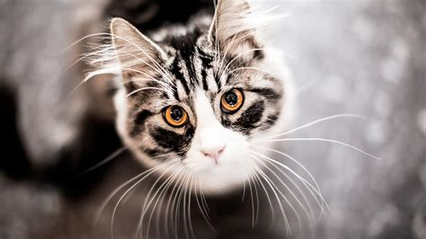 Wallpaper Cat by Cats Hd Desktop Wallpapers 1080p