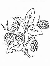 Coloring Blackberry Pages Berries Printable Recommended sketch template