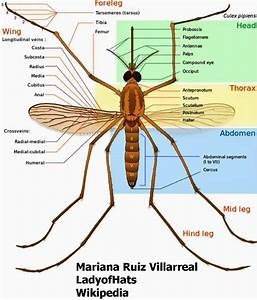 Aedes Aegypti Mosquito Anatomy