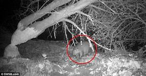 Shock and gnaw! First wild beaver spotted in England for ...