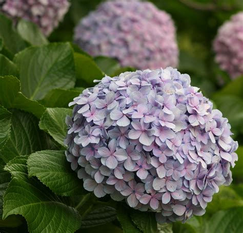 what is a hydrangea flower file flower hydrangea 2 jpg