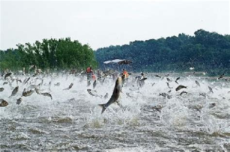 Asian Carp Attack Boat by Enemy At The Locks Great Lakes Attack