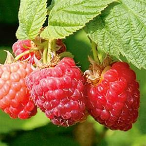 Encore Red Raspberry - Raspberry Plants