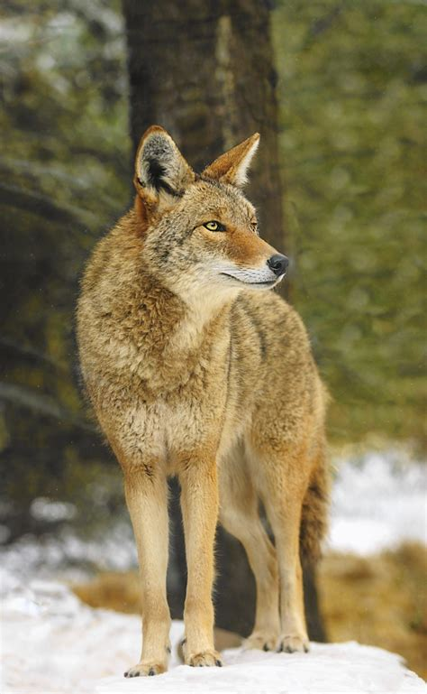 experts offer advice  living  coyotes lake forester